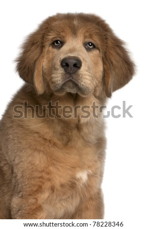 Close-up of Tibetan Mastiff puppy, 3 months old, in front of white background