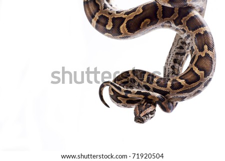 Close up of tiger python (Python molurus, Burmese Python) on white background isolated, a lot of copyspace available, macrophotography