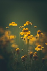 Close up of tiny yellow flowers in a meadow. Soft focus, bokeh and blurred background. Dark and moody tones