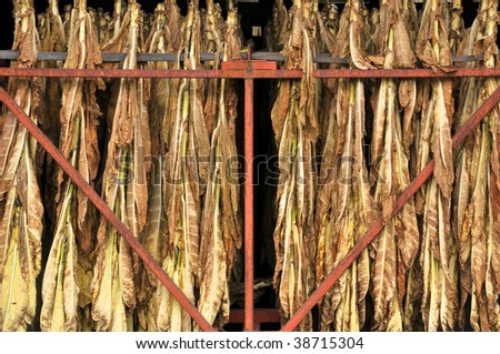 Close-Up of Tobacco Leaves Drying Horizontal