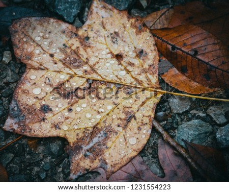 Close Up of Top Down Composition. Brown And Yellow Fallen Autumn Leaf On Gray Gravel On A Frosty Morning With Rain Drops. #1231554223