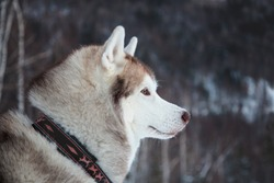 Close-up of topdog Husky male liying on the snow and observing his forest. Profile portrait of attentive Beige and White Siberian husky dog in winter