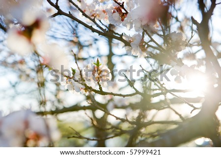 Close up of tree blossom in april