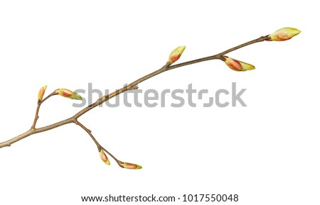 Close-up of tree twig with buds isolated on white background