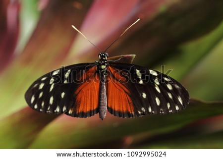 Close-up of tropical butterfly Dido Longwing on the green leaf. Photography of wildlife.