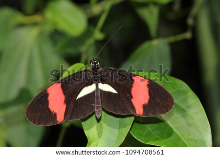 Close-up of tropical butterfly dido longwing on the leaf. Macro photography of wildlife.