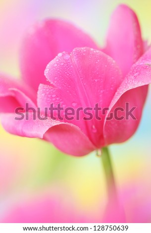 Close-up of tulip flower on colorful  background.