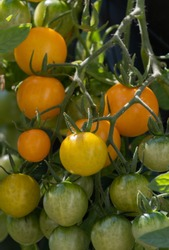 Close-up of Tumbling Tom tomatoes.