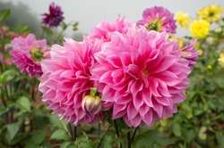 Close-up of twin pink dahlia