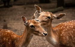 Close up of two adorable spotted deer bonding and sniffing each other, forest animals, wildlife, deer love