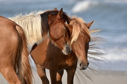 Close up of two Assateague wild ponies snuggling as they stand on the beach with one flipping its tail behind as waves crash in the background