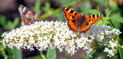 Close up of two butterflies sitting on a white flower. The