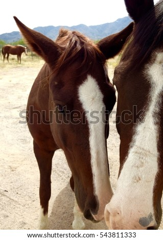 Close Up of Two Chestnut Horses with White Marking Blaze Star Stripes Nuzzling in Sonora Desert Arizona
