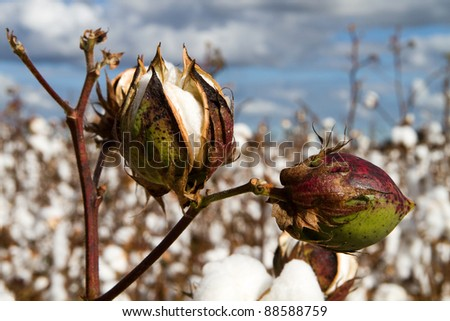 Close up of two cotton bolls growing on the stem in a field of cotton plants close to harvest time.