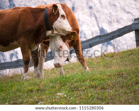 Close up of two cows cuddle on a pasture in the mountains of the Italian alps in front of a rock wall #1155280306