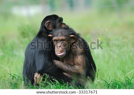 close-up of two cute chimpanzees (Pan troglodytes) - stock photo