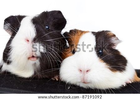 Close up of two cute guinea pigs on white background