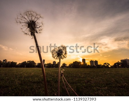 Stock Photo Close-up of two dandelion flowers that have gone to seed on a grassy area along the lakefront in Chicago as the sun sets over the horizon with white clouds and orange sky above.