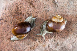 Close-up of two grape snails approaching each other on a red stone.