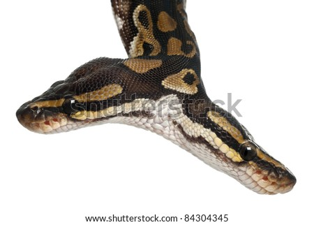 Close-up of Two headed Royal Python or Ball Python, Python Regius, 1 year old, in front of white background
