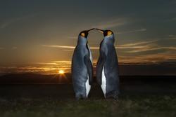 Close up of two King penguins (Aptenodytes patagonicus) at sunset, Falkland Islands.
