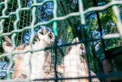 close up of Two lemurs behind green railing in captivity in Caucasus. Dendrological park. Shekvetili. Georgia