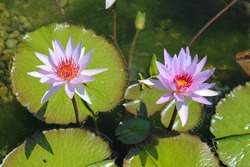 Close up of two light purple colored water lily flowers and lily pads floatin in a large pond in the summer
