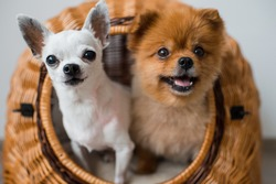 close up of two lovely and cute puppies white chihuahua dog and red pomeranian dog with funny emotional faces looking out of wicker dog house