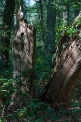 Close-up of two stumps of old trees against a background of dark vegetation on a sunny September day. One of the stumps appears to be sculpted by the play of light and shadow.