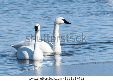 Close-up of two tundra swans (cygnus columbines)  swimming in lake, stopping on migration north, Lancaster, Pennsylvania.