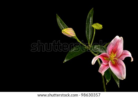 Close-up of upturned Pink Stargazer lily with two buds isolated on black