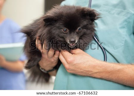 Close-up of veterinarian examining cute little dog