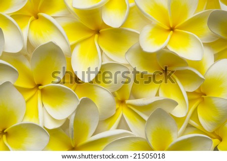 close up of vibrant frangipani flowers great for a backgound
