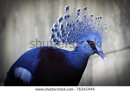 close up of Victoria Crowned Pigeon on gray background