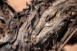 Close-up of vine trunk. Strain of old vineyard. Texture.
