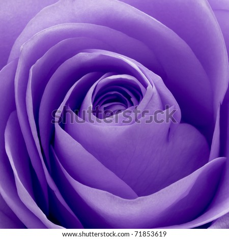 close up of violet rose petals