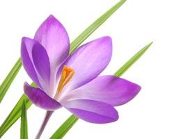 Close-up of violet spring crocus against white background