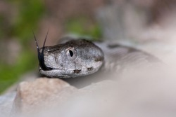 close-up of  Vipera ammodytes, horned viper, long-nosed viper, nose-horned viper, sand viper,  It is the most dangerous of the European vipers