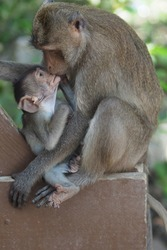 close up of warm and lovely mother monkey kissing baby monkey