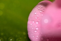 Close up of water drops on a pink leaf of a flower on a green background. Selective focus. Delicate Macro wallpaper.