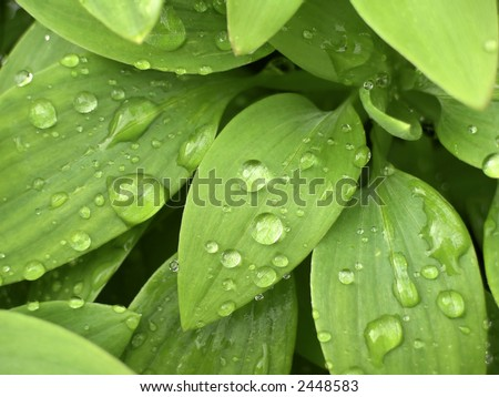 Close up of water drops on fresh green leaves.