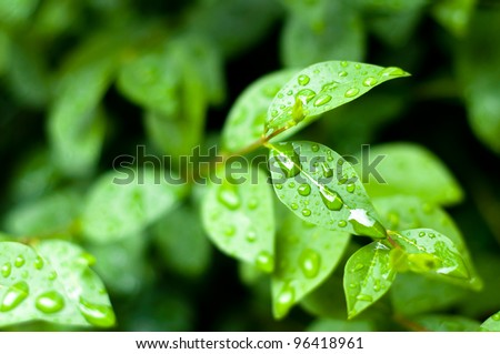 close up of water drops on fresh green leaves background