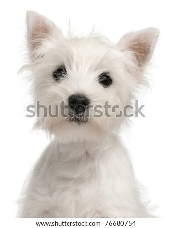 Close-up of West Highland Terrier puppy, 4 months old, in front of white background