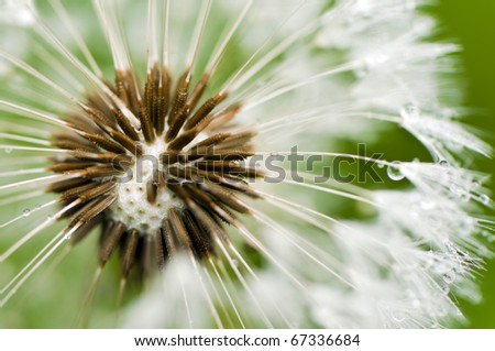 Close-up of wet dandelion seed with drops