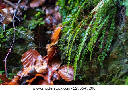 Close-up of wet fern growing on a rock. Wet fall leaves are laying beside. #1295549200
