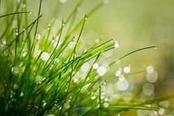 Close up of wet grass in morning light. Bokeh lights in wet grass.
