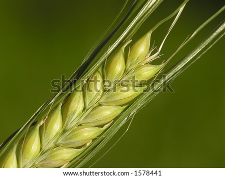 Close-up of wheat corn ready for the harvest on a summer day on green background