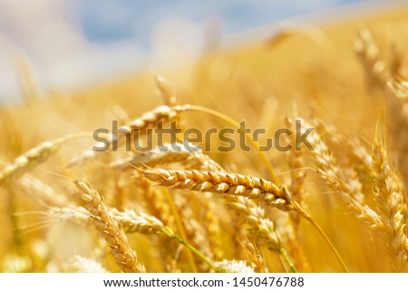 Close up of wheat ears, field of wheat in a summer day. Harvesting period.
