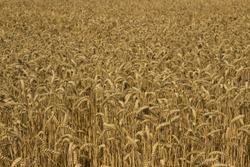 close up of wheat field countryside, UK