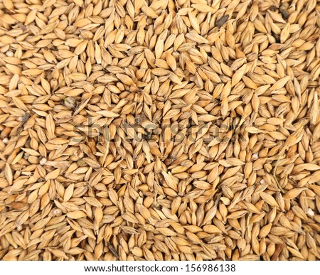 Close up of wheat grains. Whole background. - stock photo